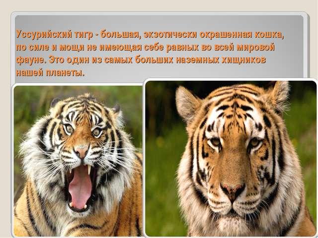 Уссурийский тигр - большая, экзотически окрашенная кошка, по силе и мощи не и...