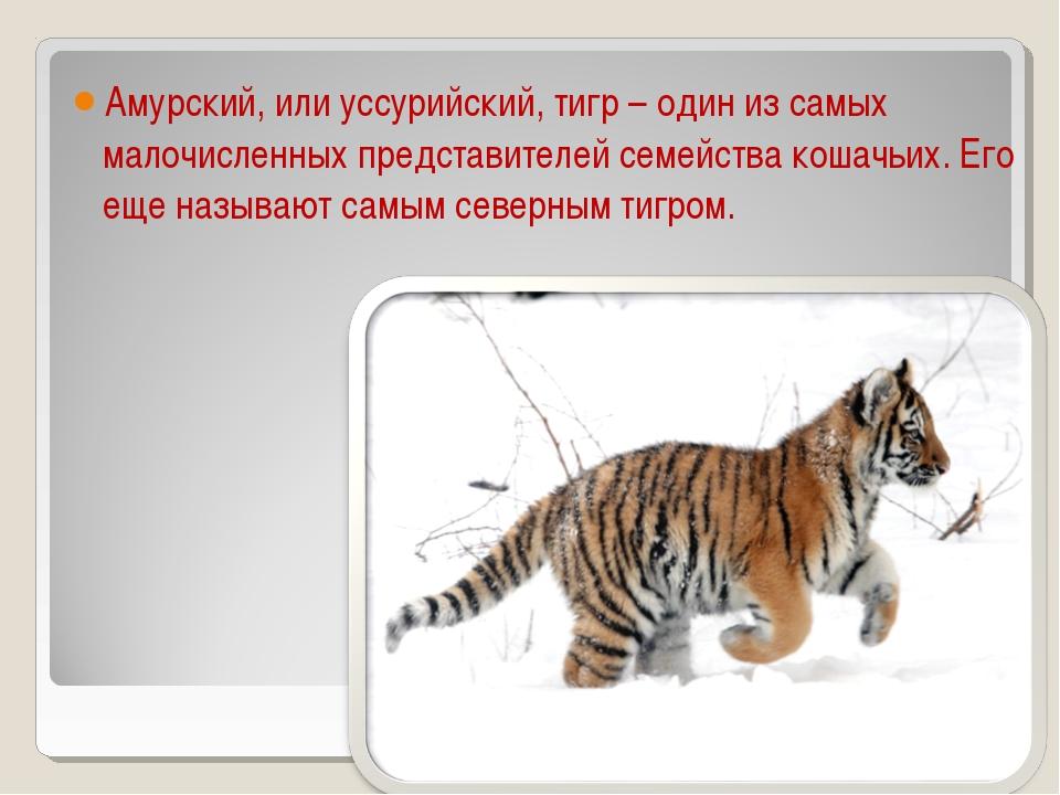 Амурский, или уссурийский, тигр – один из самых малочисленных представителей...