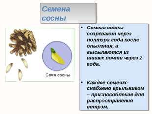 Семена сосны созревают через полтора года после опыления, а высыпаются из шиш