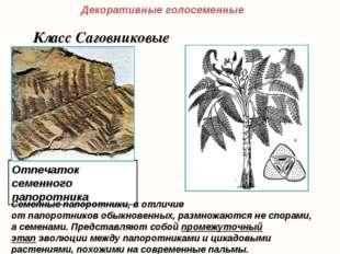 Отпечаток семенного папоротника Декоративные голосеменные Класс Саговниковые
