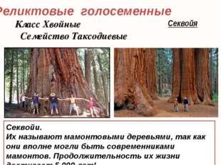 Реликтовые голосеменные Секвойя Секвойи. Их называют мамонтовыми деревьями, т
