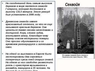 Секвойя На сегодняшний день самым высоким деревом в мире является секвойя Гип