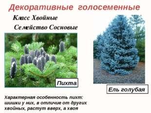 Декоративные голосеменные Ель голубая Класс Хвойные Семейство Сосновые Характ