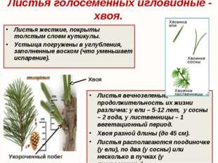 Листья голосеменных игловидные - хвоя. Листья вечнозеленые, продолжительность