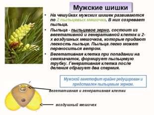 На чешуйках мужских шишек развиваются по 2 пыльцевых мешочка. В них созревает