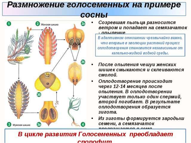 Созревшая пыльца разносится ветром и попадает на семязачаток - опыление. Посл...