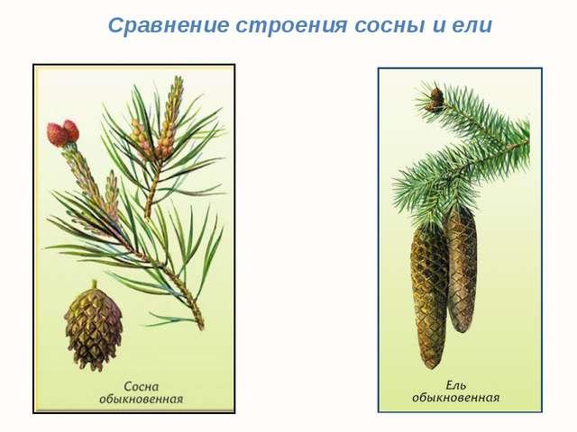 Сравнение строения сосны и ели