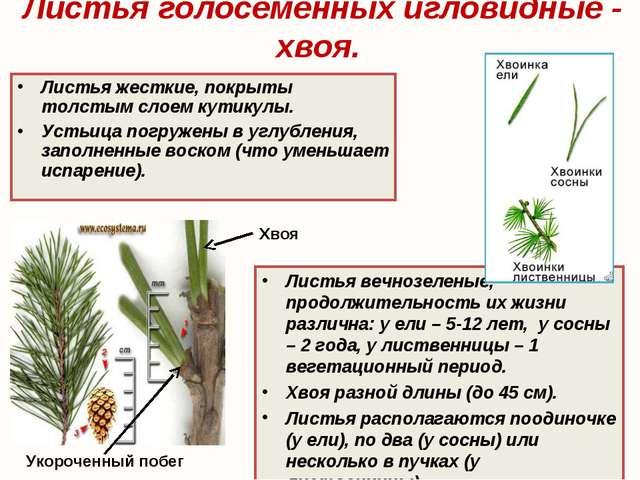 Листья голосеменных игловидные - хвоя. Листья вечнозеленые, продолжительность...