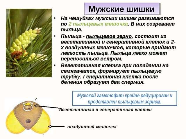 На чешуйках мужских шишек развиваются по 2 пыльцевых мешочка. В них созревает...
