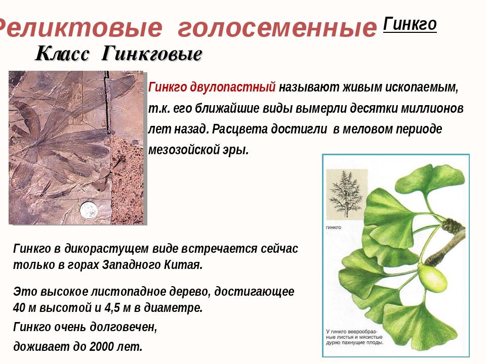 Гинкго двулопастный называют живым ископаемым, т.к. его ближайшие виды вымерл...