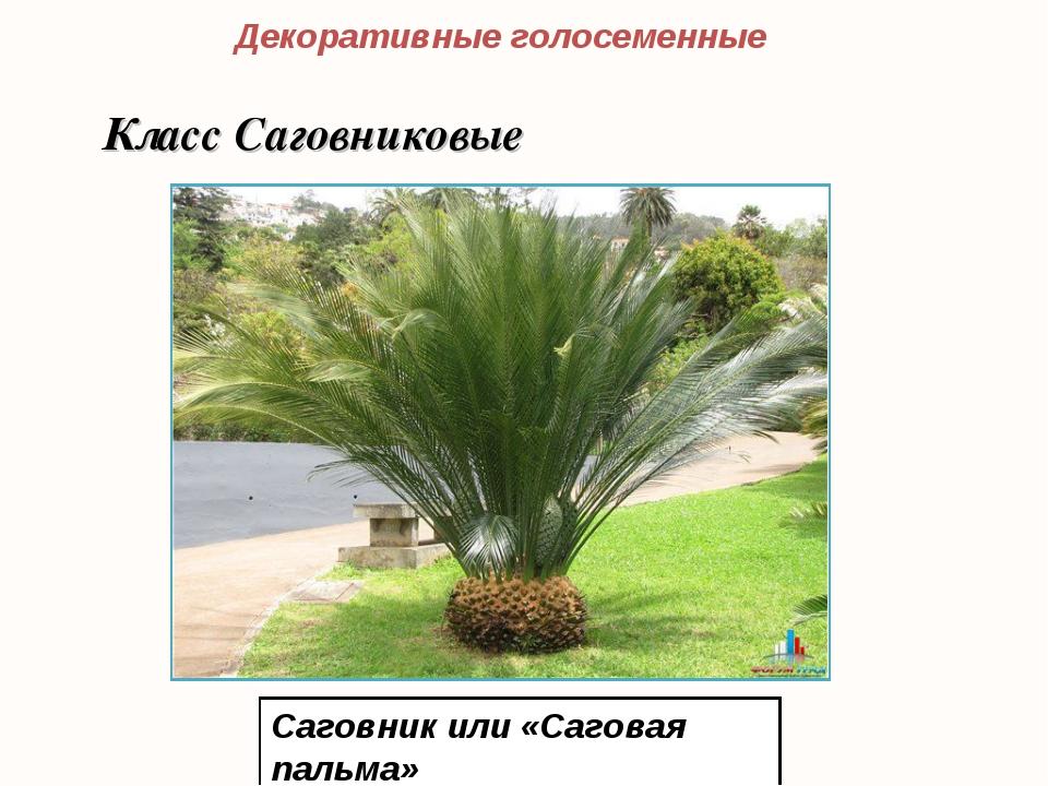 Саговник или «Саговая пальма» Декоративные голосеменные Класс Саговниковые