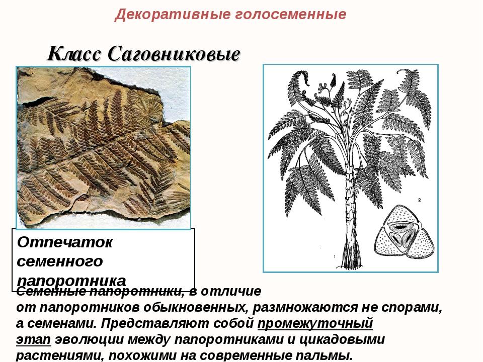 Отпечаток семенного папоротника Декоративные голосеменные Класс Саговниковые...