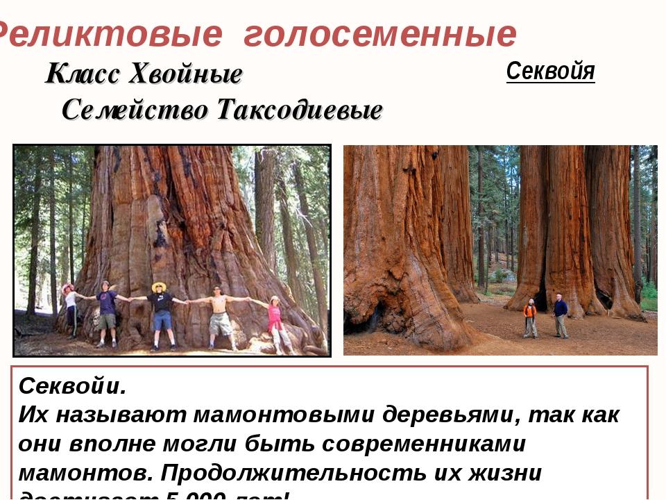 Реликтовые голосеменные Секвойя Секвойи. Их называют мамонтовыми деревьями, т...
