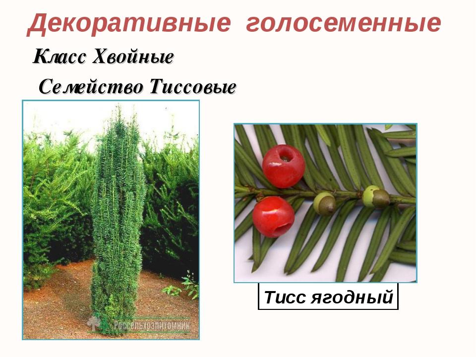 Декоративные голосеменные Тисс ягодный Класс Хвойные Семейство Тиссовые