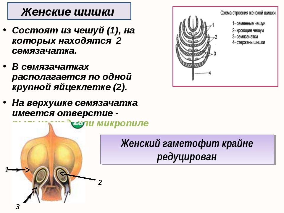Женские шишки Состоят из чешуй (1), на которых находятся 2 семязачатка. В сем...