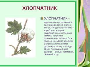 ХЛОПЧАТНИК ХЛОПЧАТНИК - однолетнее кустарниковое растение высотой около 1 ме