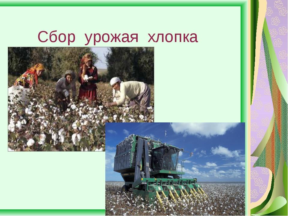 Сбор урожая хлопка