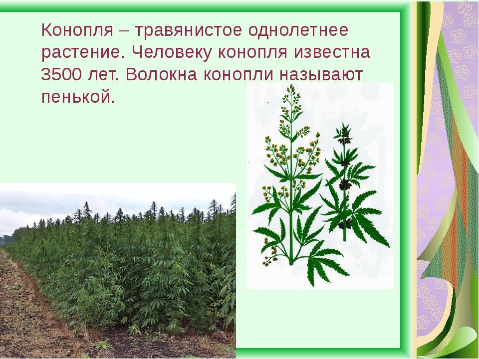 Конопля – травянистое однолетнее растение. Человеку конопля известна 3500 лет...