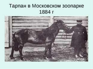Тарпан в Московском зоопарке 1884 г