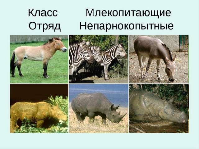 Класс Млекопитающие Отряд Непарнокопытные