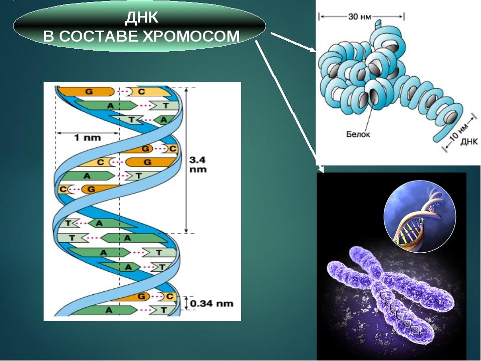 * ДНК В СОСТАВЕ ХРОМОСОМ