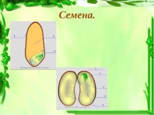 Семена.