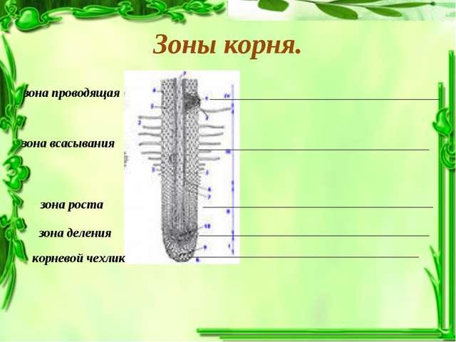 Зоны корня. зона проводящая зона всасывания зона роста зона деления корневой...
