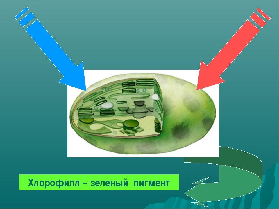 Хлорофилл – зеленый пигмент