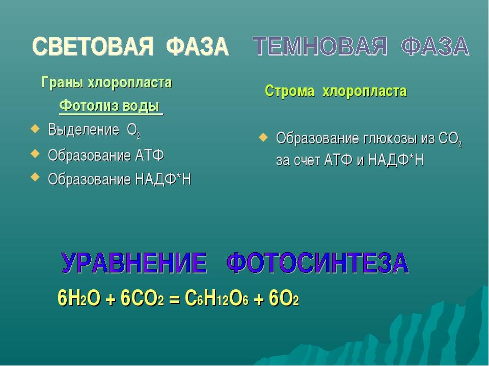 Граны хлоропласта Фотолиз воды Выделение О2 Образование АТФ Образование НАДФ...
