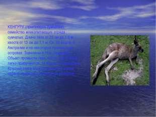 КЕНГУРУ (прыгающие сумчатые), семейство млекопитающих отряда сумчатых. Длина