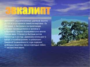 ЭВКАЛИПТ, род вечнозеленых деревьев (высота до 100 м) и кустарников семейства
