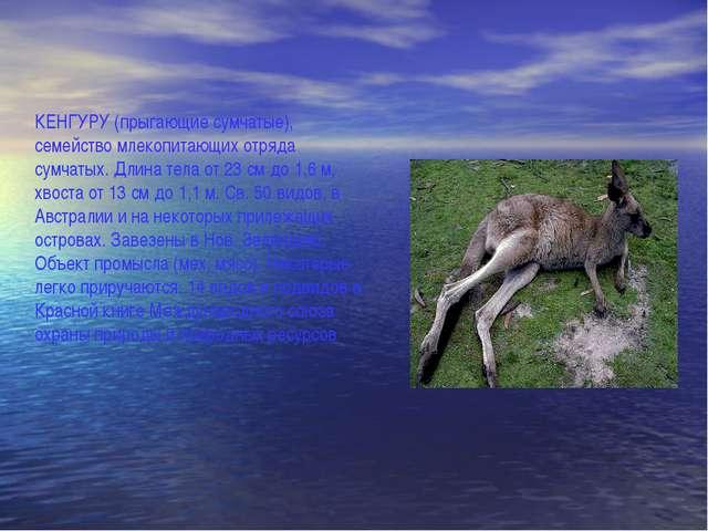 КЕНГУРУ (прыгающие сумчатые), семейство млекопитающих отряда сумчатых. Длина...