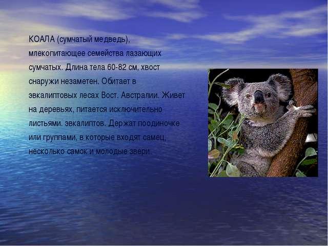 КОАЛА (сумчатый медведь), млекопитающее семейства лазающих сумчатых. Длина те...