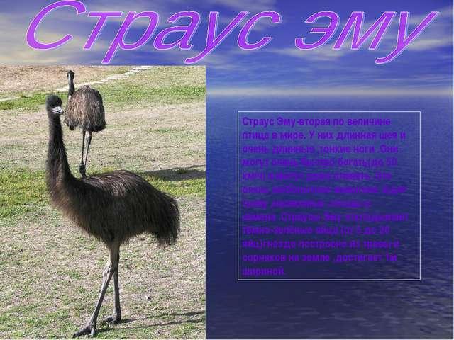 Страус Эму-вторая по величине птица в мире. У них длинная шея и очень длинные...