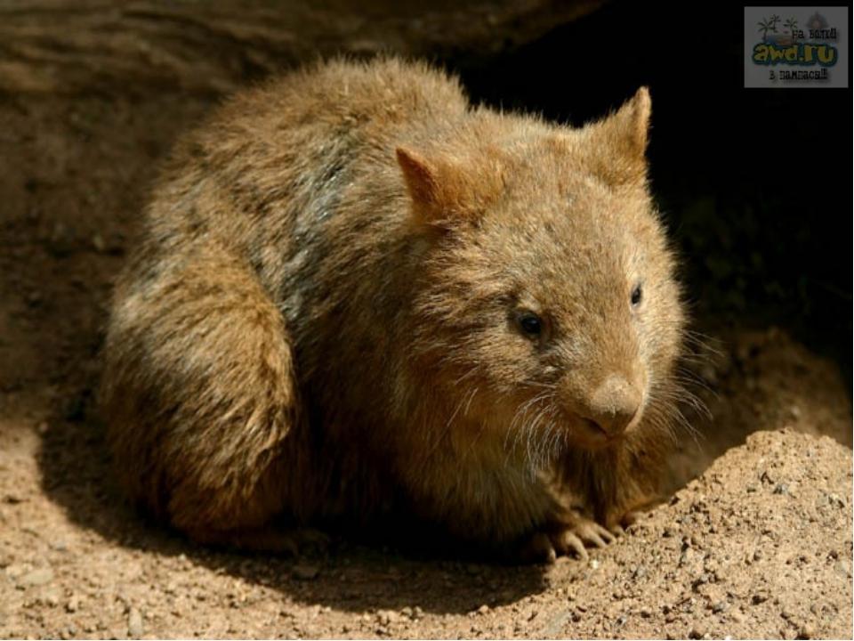 ВОМБАТЫ (Vombatidae), семейство млекопитающихотряда сумчатых; включает два...