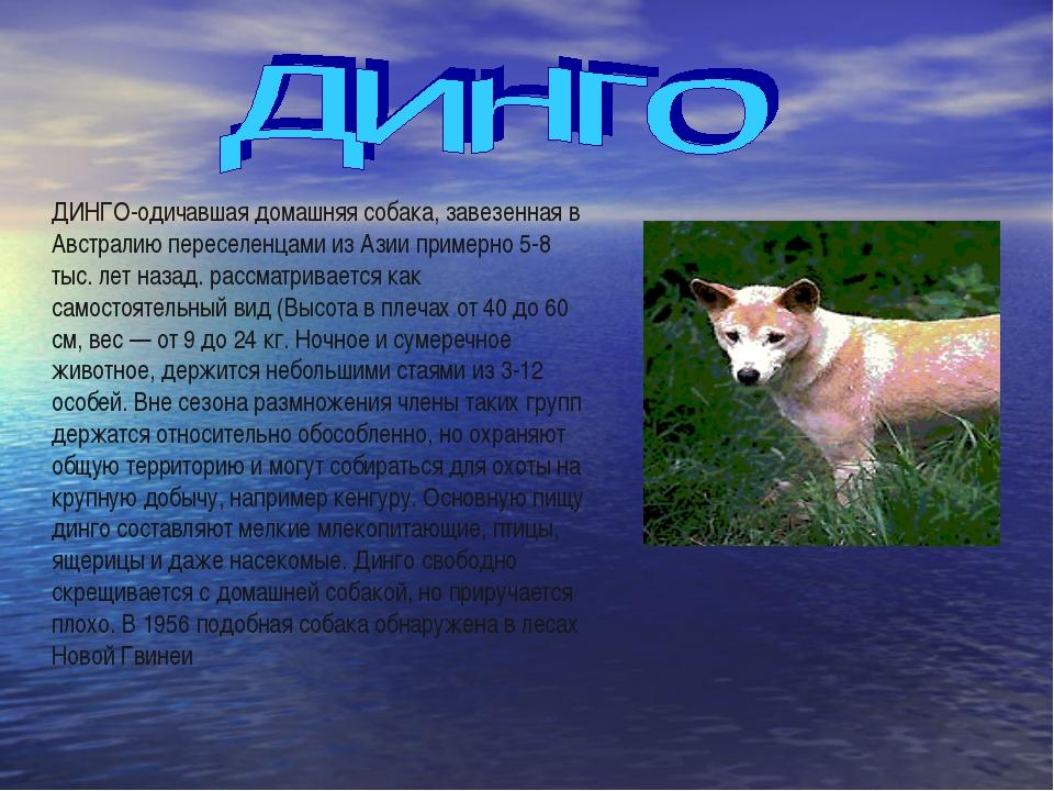 ДИНГО-одичавшая домашняя собака, завезенная в Австралию переселенцами из Азии...