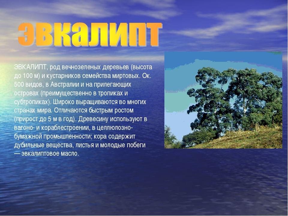 ЭВКАЛИПТ, род вечнозеленых деревьев (высота до 100 м) и кустарников семейства...