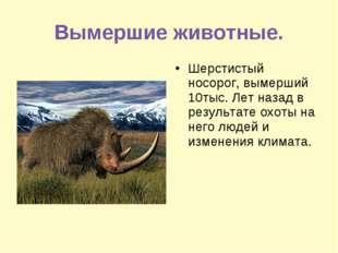Вымершие животные. Шерстистый носорог, вымерший 10тыс. Лет назад в результате