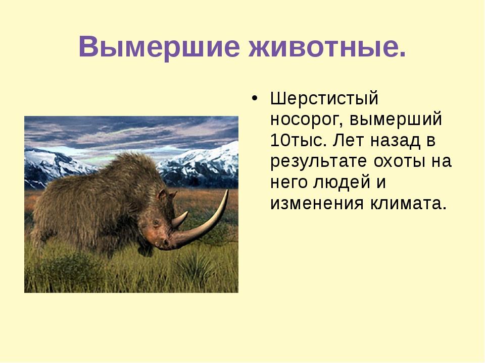 Вымершие животные. Шерстистый носорог, вымерший 10тыс. Лет назад в результате...