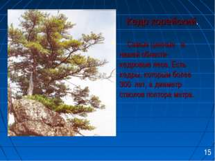 Кедр корейский. Самые ценные в нашей области- кедровые леса. Есть кедры, кот