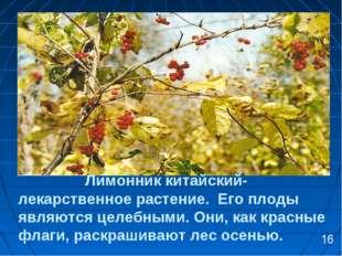Лимонник китайский- лекарственное растение. Его плоды являются целебными. Он