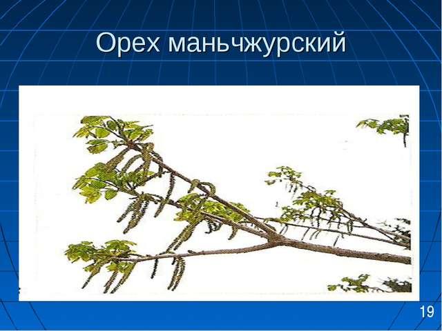 Орех маньчжурский 19