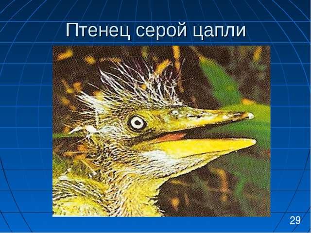 Птенец серой цапли 29