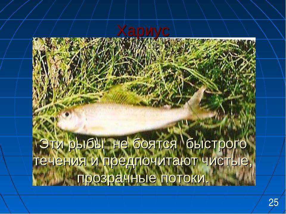 Хариус Эти рыбы не боятся быстрого течения и предпочитают чистые, прозрачные...