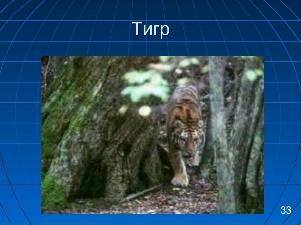 Тигр 33