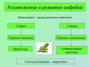 Размножение и развитие амфибий Земноводные – раздельнополые животные Самки Са