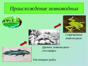 Происхождение земноводных Кистеперые рыбы Древнее земноводное - стегоцефал Со