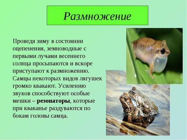 Размножение Проведя зиму в состоянии оцепенения, земноводные с первыми лучами...
