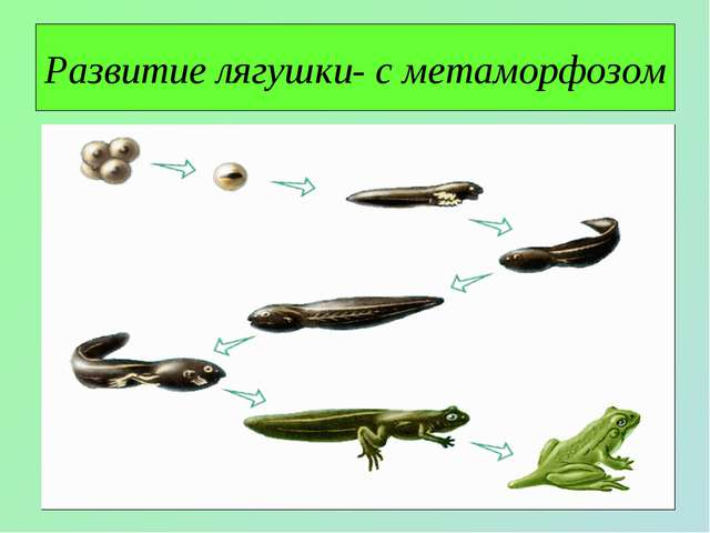 Развитие лягушки- с метаморфозом