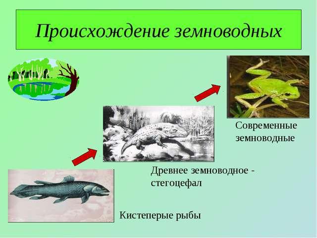 Происхождение земноводных Кистеперые рыбы Древнее земноводное - стегоцефал Со...